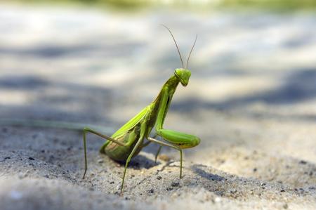 mantis: Mantis religiosa, the praying mantis Stock Photo