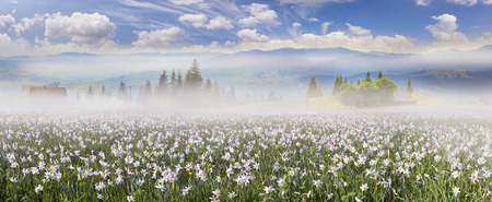 Among the background of mountains and river valleys in the spring grow beautiful wild flowers- daffodils. They are especially beautiful and fragrant sunrise with fog and the gentle rays or night Stock Photo