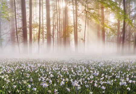 山脈や渓谷の春の背景は大きく美しい野生の花水仙です。 写真素材