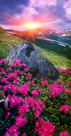 On the tops of the Carpathians in the late spring, early summer bloom beautiful alpine flowers, rhododendrons. This time, summer vacation, a favorite for alpine trips in the Carpathians, Ukraine.