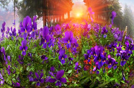 Almhänge durch Bäume zu fällen, bewachsen mit Gras und Blumen am Anfang, zum Beispiel, Viola tricolor betroffen. Starker Nebel gehüllt die Erde, regen Tropfen bücken dünnen Blütenblätter