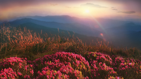 On the tops of the Carpathians in the late spring, early summer bloom beautiful flowers-rhododendrons