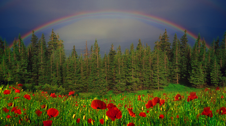 A Rainbow-arc after a thundershower got up above the forests and fields. The background is collected by young fir trees in a dense thicket, which is not easy to move around Stock Photo