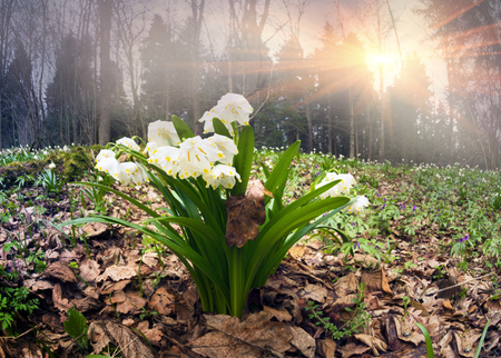 Dazzling beauty of spring the first flowers in the wild wet forest under soft light of dawn and beautiful fragrance gentle inflorescence pleases the viewer, light bells light on juicy green stems