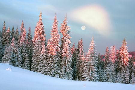 hoarfrost: Ukraine, Carpathians strong snowstorm covered the mountains of sugar crust, like frosting. The gentle radiance glow of sunrise in a landscape decorated with a picture of harsh wilderness