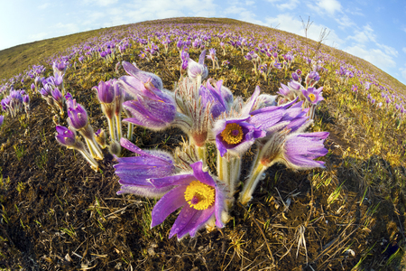 beautiful spring primroses bells sleep-grass lumbago, or Pulsatilla patens appear on a background of dry grass with the first heat. Gentle silvery fuzz on the plants typical for this type of wildlife