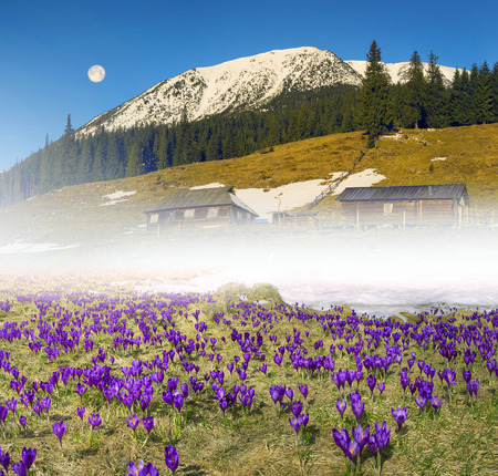 Once come snow- magic grow Polyanthus crocus crocuses in Ukrainian Carpathians and Eastern Europe. Alpine villages and hamlets covered magic carpet of delicate bells with a beautiful aroma