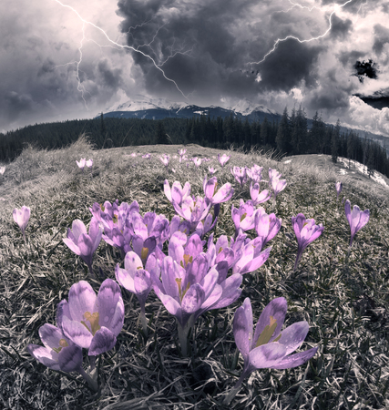 Once come snow- magic grow gentle crocus crocuses in Ukrainian Carpathians and Eastern Europe. Alpine pastures are covered magic carpet of delicate bells with a beautiful aroma wild flowers Stock Photo