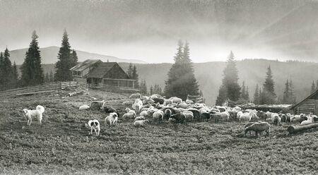 銀塩写真古代とヴィンテージのレトロな古典的な黒と白調性をカルパティア ウクライナが両方ヨーロッパ daguerreotypes の羊の羊飼い群れを受ける出力