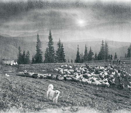 shepard: Retro classic black and white tonality of silver photography both ancient and vintage prints subject to shepherd  flock of sheep in the Carpathian Ukraine both in Europe daguerreotypes