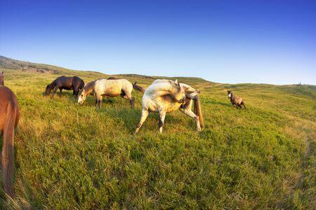 Wild horses graze in Western Ukraine Carpathians Zakarpattia on background sunrise on the meadow alpine all summer until the autumn, when they are taken away for seasonal work Stock Photo