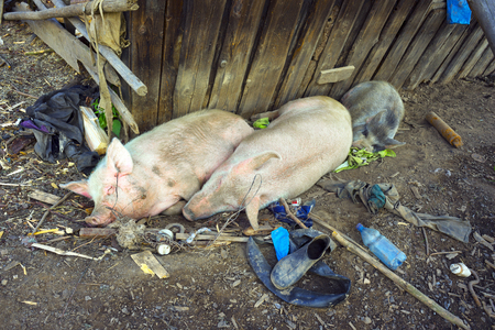 untidiness: Satisfied thick pink pig rest and fatten fat bacon in Western Ukraine Carpathians Zakarpattia on the background clutter in the barn pastuhov Gutsuliya on the meadow alpine