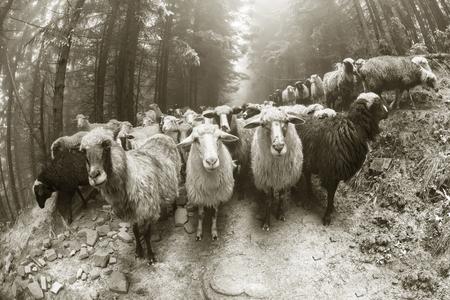 Retro en vintage stemming zilveren klassieke fotografie met de schapenkudde in de wilde weilanden en de bergen van Oost-Europa. Oekraïne Hutsul traditionele activiteit Hooglanders Stockfoto