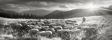 레트로와 빈티지 분위기 야생 목초지와 동부 유럽의 산에서 양 무리와 실버 클래식 사진. 우크라이나 Hutsul 전통적인 활동 고지 사람
