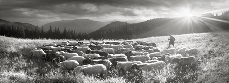 Retro y la fotografía clásica de la plata del humor del vintage con la oveja reúne en los pastizales y las montañas salvajes de Europa Oriental. Ucrania Actividad tradicional de Hutsul Highlanders Foto de archivo - 74352895