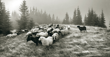 tonality: Retro classic black and white tonality of silver photography both ancient and vintage prints subject to shepherd  flock of sheep in the Carpathian Ukraine both in Europe daguerreotypes