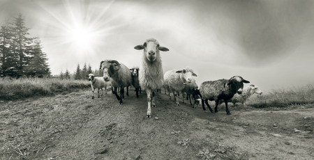 Retro classic black and white tonality of silver photography both ancient and vintage prints subject to shepherd  flock of sheep in the Carpathian Ukraine both in Europe daguerreotypes