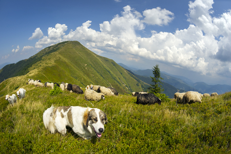Ukraine, mountainous region Strymba shepherds hutsuly lead the flock of fluffy sheep milk on the alpine mountain pasture in anticipation of rain and thunderstorms with lightning