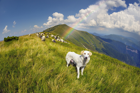 teats: Ukraine, mountainous region Strymba shepherds hutsuly lead the flock of fluffy sheep milk on the alpine mountain pasture in anticipation of rain and thunderstorms with lightning