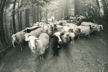 レトロやヴィンテージ気分銀野生の牧草地で、東ヨーロッパの山で羊の群れと古典的な写真。ウクライナ Hutsul の伝統的な活動ハイランダーズ