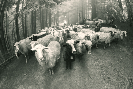 Retro and vintage mood silver classic photography with the sheep herd in the wild pastures and mountains of Eastern Europe. Ukraine Hutsul traditional activity Highlanders Banco de Imagens - 74352703