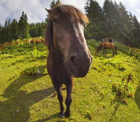 tops the Carpathian Ukraine grazing wild horses of the season in the spring of recovering on alpine pastures in autumn take. The summer they spend without protection on the loose