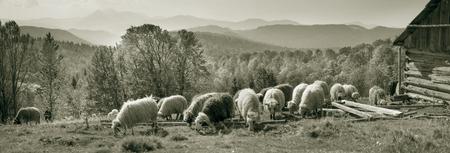 Retro klassieke zwart-witte tonaliteit van zilveren fotografie zowel oude als vintage afdrukken onderhevig aan herderkudde schapen in de Karpaten Oekraïne, beide in Europa daguerreotypes