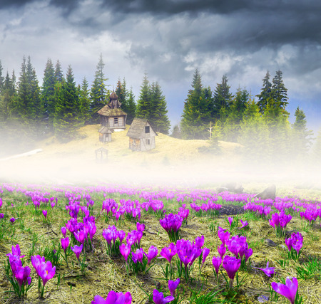 High in Ukraine - Black Mountain, Goverla, Petros grow wild crocuses - crocuses, when the snow melts and becomes warmer - in April. Shepherds House, where they come in the summer to graze cattle and sheep.