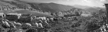 english countryside: Retro and vintage mood silver classic photography with the sheep herd in the wild pastures and mountains of Eastern Europe. Ukraine Hutsul traditional activity Highlanders