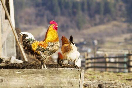 fertility emblem: Mountain village in Carpathians beautiful bird walk around the yard on the background of nature in spring. chicken eggs are more nutritious, if the chicken is fed organic natural food