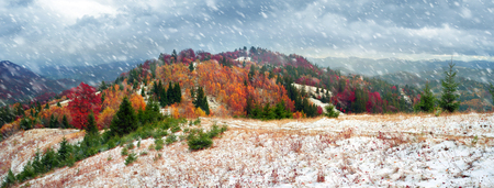 Cold autumn in the Carpathians. Bright colors after snow blizzard is very beautiful scenic, beech, birch and pine forests on the slopes of Sokilsky background mountains at dawn  sunset Stock Photo