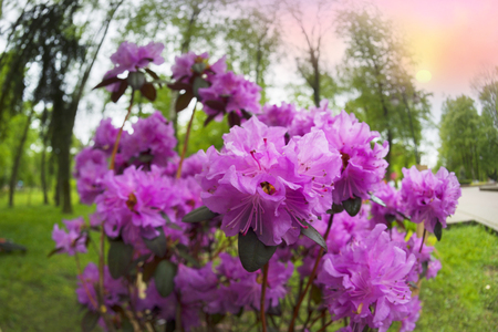 Beautiful azalea in the spring blossoms against the background of the city park of Ivano-Frankivsk Ukraine, Eastern Europe. Lush pink delicate flowers cover the bush abundantly Stock Photo