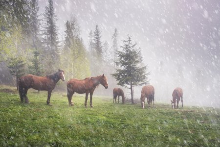 beautiful rare: Ukraine fog mountain green meadow wild Carpathian horses graze in the early spring amid the gentle nature of a mountain morning in the haze of the beautiful nature of Eastern Europe Stock Photo