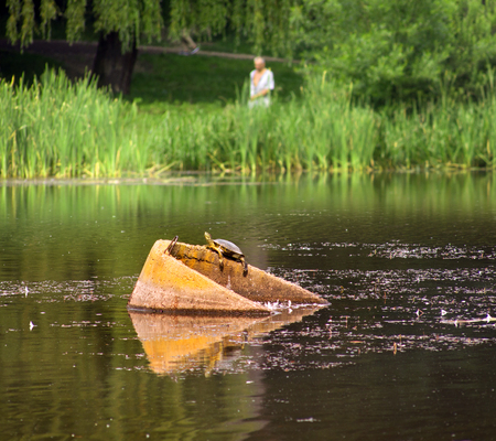 snapping turtle: On the city lake in the park Ivano-Frankivsk Ukraine, a large beautiful tortoise was seen on the beton drainage ring pipe. A rare animal takes sun baths on a warm summer day Stock Photo