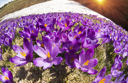 carpathians: Spring in the Ukrainian Carpathians bad weather frost against the backdrop of wild snow tops and frosted fir trees bloom gentle beautiful mountain flowers of saffron - crocus Stock Photo