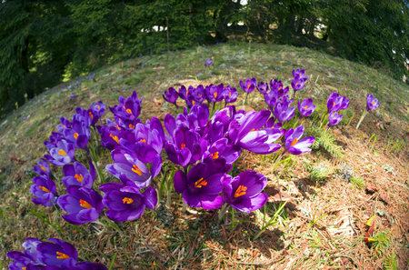 carpathians: Crocuses of saffron tender flowers in a rural old manor in the Ukrainian Carpathians primroses of fairy beauty against the background of the original architecture of Hutsul mountaineers