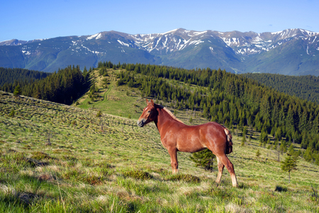 Montenegrin ridge, Goverla graze their horses in the early spring on the Kostrych valley between Verkhovyna and Vorokhta. For the summer stallions freely graze in the mountains of Ukraine