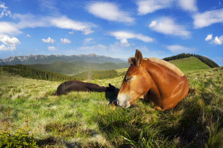 freely: Montenegrin ridge, Goverla graze their horses in the early spring on the Kostrych valley between Verkhovyna and Vorokhta. For the summer stallions freely graze in the mountains of Ukraine