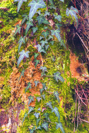 Decorative old trees in the wild Carpathian forest of Transcarpathia, with a coarse mossy bark on the background twined with a beautiful gentle ivy and wild grapes with a pattern leaves