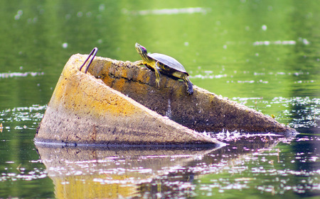 On the city lake in the park Ivano-Frankivsk Ukraine, a large beautiful tortoise was seen on the beton drainage ring pipe. A rare animal takes sun baths on a warm summer day Stock Photo