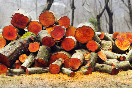valued: Misty and smoky rainy weather in the Carpathian forest against the backdrop of a log of alder firewood. Beautiful orange red texture annual rings of deciduous wood valued in furniture