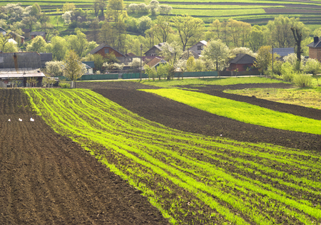 cultivate: Spring Ukraine peasants cultivate the land of artistic compositions of fragments of land in  hills and arable land fresh greens of wheat germination crops on a background of flowering plant trees