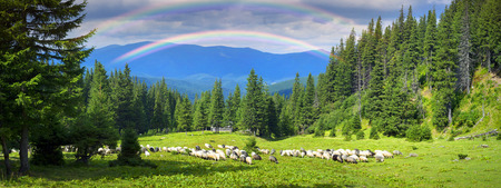 High in the mountains at sunset shepherds graze cattle among the panorama of wild forests  fields of the Carpathians. Sheep provide wool, milk  meat for agriculture Traditional economy Highlanders