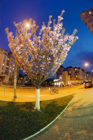 Ukraine, Ivano-Frankivsk, April 18, 2017: Evening in a provincial European city against  backdrop of the sunset of night sky modern residential houses beautiful gentle sakura flowers with pink petals