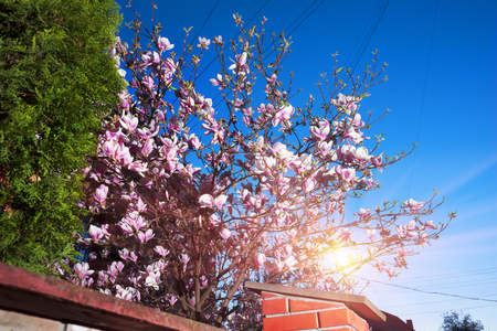 Evening in a provincial European city against the background of the sunset of the night sky of modern residential houses beautiful gentle flowers of Magnolia with pink petals graceful branches