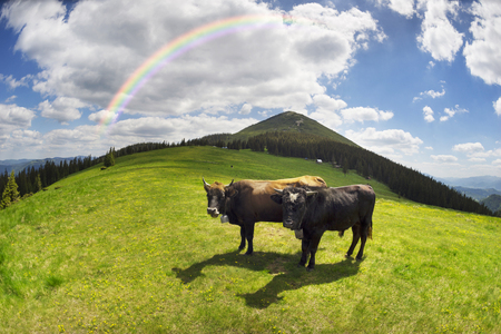 Cow and a growing calf goby in Ukraine in the Carpathians against the backdrop of Mount Hamster and Sinyak in sunny weather with clouds grazing in a young clean green grass