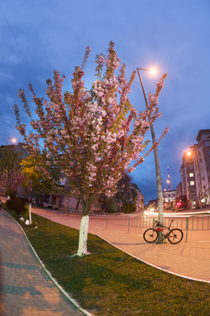 Evening in a provincial European city against the backdrop of the sunset of the night sky  modern residential houses beautiful gentle sakura flowers with pink petals and graceful branches