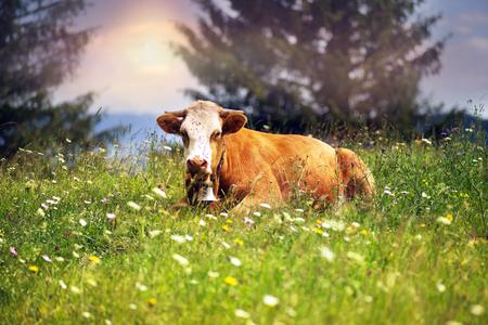 Verkhovyna の村の上には、山のイヴァーノ = フランキーウシク地方がウクライナの登山家-Hutsul Gutsul の乳牛を放牧しています。彼らはアルプスの牧草地