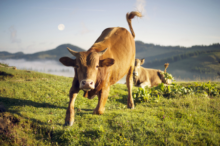 Bull attacks. After the rain, the green pastures in the Alpine zone in the Carpathians are covered with a sea of fog and the herds of wild Bull of the Ukrainian mountaineers the Hutsuls graze at large
