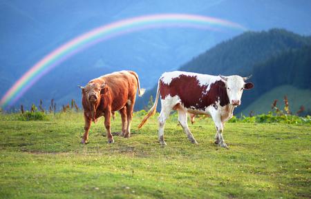山の村 Verkhovyna イヴァーノ = フランキーウシク地域で放牧し、若い雄牛ウクライナ登山 - Hutsul の戦い。高山草原で全体の夏のため残っています。